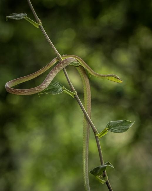 Easter  Parrot Snake  2