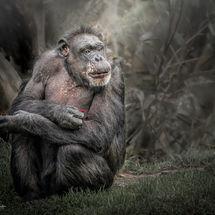 Elderly Chimp-2