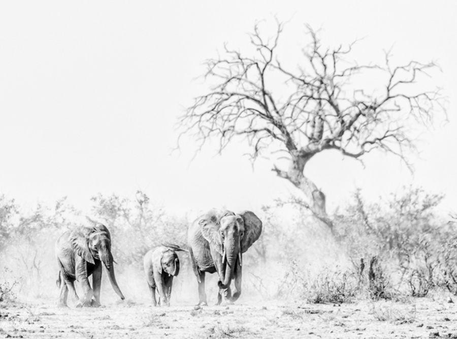 Elephant Family in dust