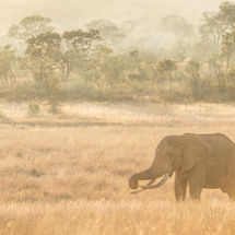 Elephant in early morning Light
