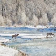 Elk Crossing Grand Tetons-0411