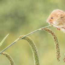 Feeding Harvest Mouse