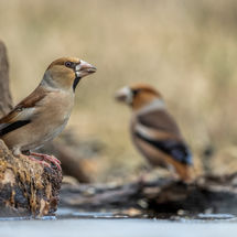Female and male Hawfinch