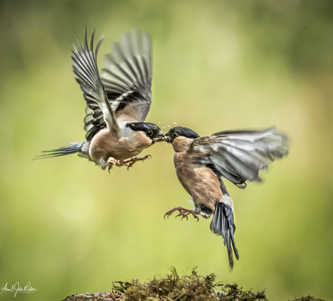 Fighting Bullfinches