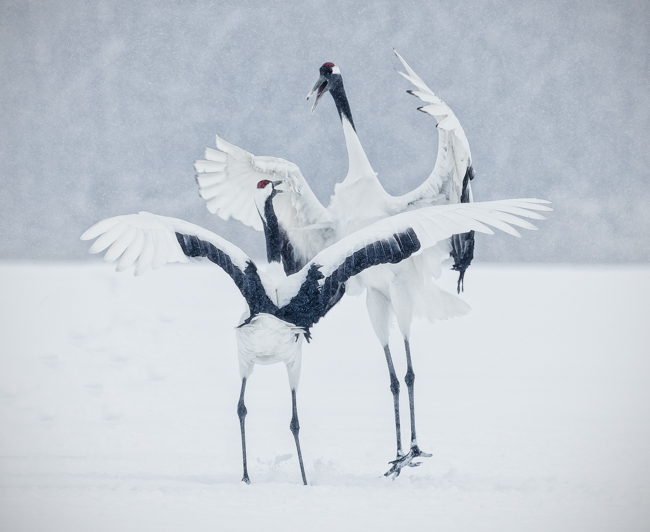Fighting Cranes in Snow Storm