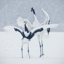 Fighting Cranes in Snow Storm