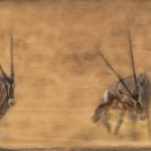Fighting Gemsbok in the Dust