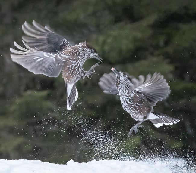 Fighting Nutcrackers in Flight