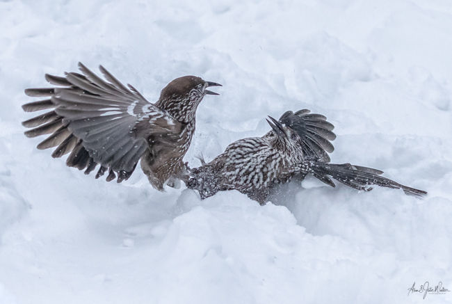 Fighting Nutcrackers in the Snow