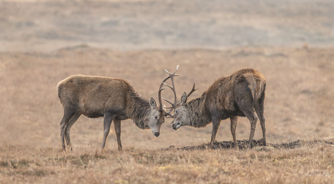 Fighting Stags 4