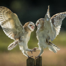 Fighting barn Owls