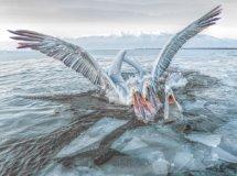 Dalmation Pelicans