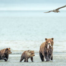 Fish Supper Alaska Bears Sept 2014-6295