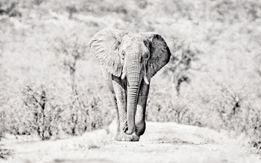 Full frontal Elephant High Key mono