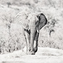 Full frontal Elephant High Key mono