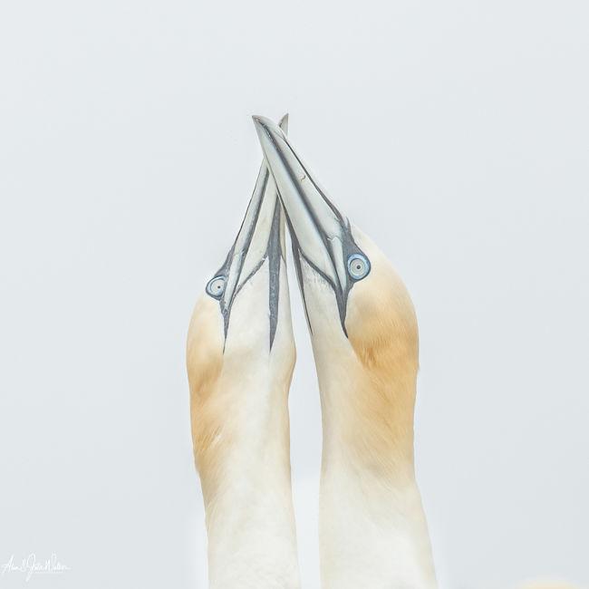 Gannet Courtship 2