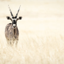 Gemsbok in the long grass