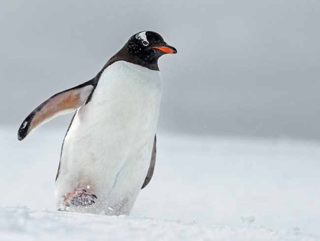 Gentoo  balancing  in  the  snow