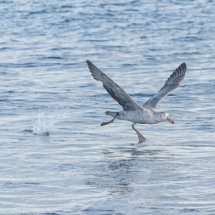 Giant  Petrel  Take  Off