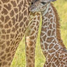 Giraffe Baby annd Mum 1
