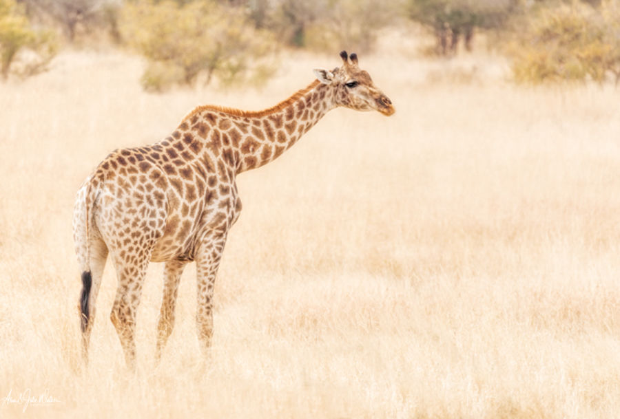Giraffe in search of food
