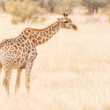 Giraffe in search of food