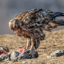 Golden Eagle on Kill