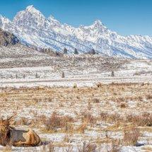Grand Tetons-Elk Landscape 3