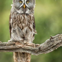 Great Grey Owl Portrait
