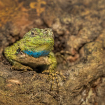 Green Spinny Lizard