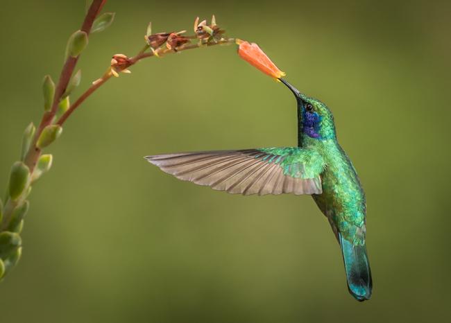 Green Violet Eared Hummingbird 2