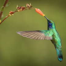 Green Violet Eared Hummingbird 2