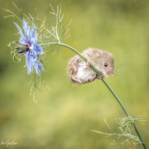Harvest Mouse on Cornflower