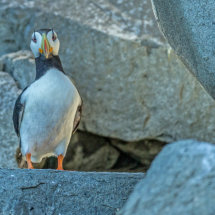 Horned  Puffin  Amoungst  the  Rocks
