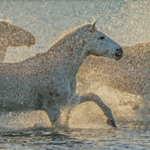 Horses  in  the  spray