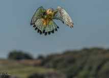 Raptors in the Yorkshire Moorland