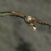 Hunting Red Kite