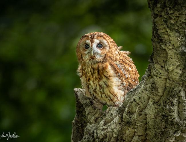 Hunting Tawnt Owl