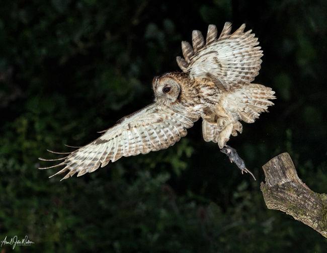 Hunting Tawny Owl with Kill