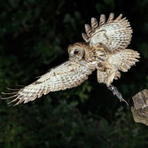 Hunting Tawny Owl with Kill