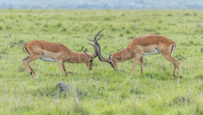 Impala Rut