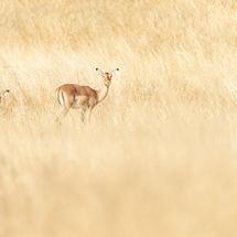 Impala in Long Grass