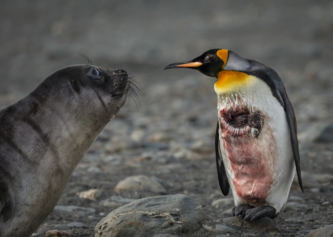 Injured  King  Penguin
