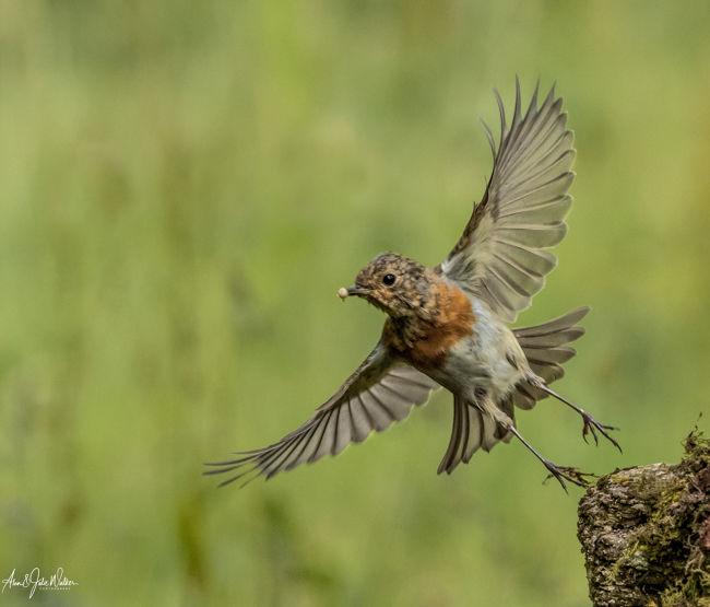 Juvenile Robin with grub