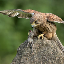 Kestral with Mouse