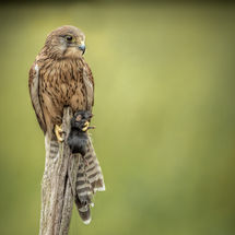 Kestral with mouse Supper