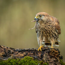 Kestrel and Mouse 1