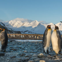 King Penguin  Landscape