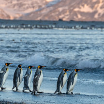 King  Penguins  off  to  look  for  food