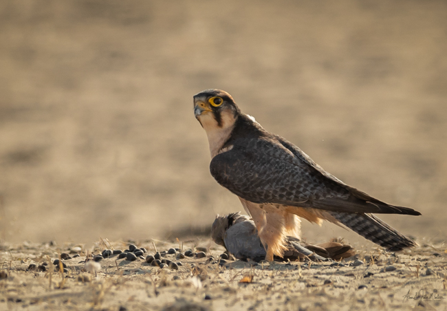 Lanner Falcon with dove